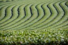 Paesaggio della piantagione di tè a Chiang Rai Immagini Stock