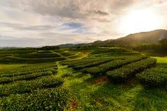 Paesaggio della piantagione di tè con alba immagine stock