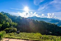 Paesaggio della piantagione di tè 2000 a Doi Ang Khang Immagini Stock