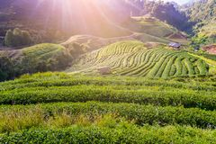 Paesaggio della piantagione di tè 2000 a Doi Ang Khang Fotografia Stock