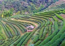 Paesaggio della piantagione di tè 2000 a Doi Ang Khang Immagine Stock