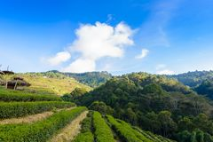 Paesaggio della piantagione di tè 2000 a Doi Ang Khang Fotografia Stock Libera da Diritti
