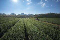 Paesaggio della piantagione di tè il chiaro giorno Azienda agricola del tè con la gente locale che cammina sulla strada, sul ciel Fotografia Stock