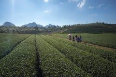 Paesaggio della piantagione di tè il chiaro giorno Azienda agricola del tè con la gente locale che cammina sulla strada, sul ciel Immagini Stock Libere da Diritti