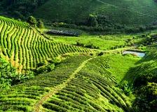 Paesaggio della piantagione di tè. Provincia di rai di Chaing, Tailandia Immagine Stock Libera da Diritti