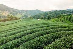 Paesaggio della piantagione di tè verde Fotografie Stock Libere da Diritti