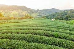 Paesaggio della piantagione di tè verde Fotografie Stock