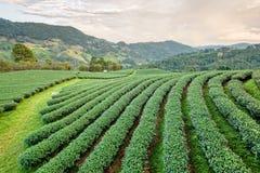 Paesaggio della piantagione di tè verde Immagine Stock Libera da Diritti