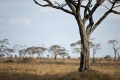 Paesaggio della pianura di Serengeti, Tanzania Fotografia Stock
