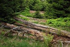 Paesaggio della primavera - Forest Hiking nero sul percorso di Lothar nella foresta nera, Germania fotografia stock