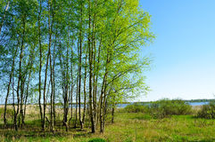 Paesaggio della primavera - foresta della betulla sul lato del fiume nel giorno soleggiato piacevole di primavera Fotografie Stock