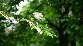 Paesaggio della primavera - un albero sbocciante in un parco della città video d archivio