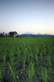 Paesaggio della risaia di Bali di mattina Fotografie Stock Libere da Diritti