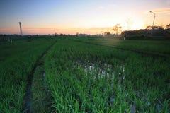 Paesaggio della risaia di Bali di mattina Fotografia Stock