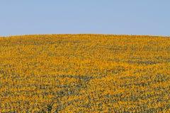 Paesaggio della Toscana con il girasole Fotografie Stock Libere da Diritti