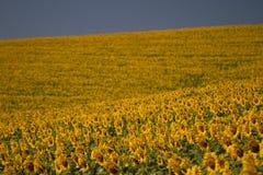 Paesaggio della Toscana con il girasole Fotografie Stock