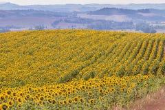Paesaggio della Toscana con il girasole Immagine Stock Libera da Diritti