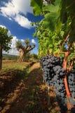 Paesaggio della vigna in autunno con di olivo fotografia stock libera da diritti