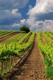 Paesaggio della vigna con le bei nuvole e cielo blu di estate Fotografia Stock Libera da Diritti