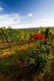 Paesaggio della vigna di Chianti in autunno con le rose Fotografia Stock Libera da Diritti