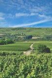 Paesaggio della vigna, regione del vino di Rhinehessen, Germania Immagine Stock