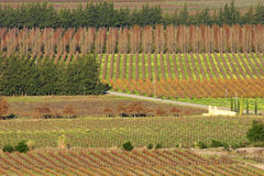 Paesaggio della vigna, Sudafrica Immagine Stock Libera da Diritti
