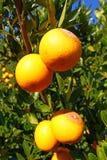 Paesaggio delle arance di Florida Immagini Stock