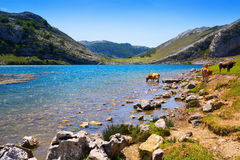 Paesaggio delle montagne con il lago e le mucche Lago Enol Fotografie Stock Libere da Diritti