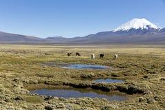 Paesaggio delle montagne delle Ande, con i lama che pascono Immagine Stock