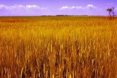 Paesaggio di agricoltura - campo di granulo dorato Immagini Stock