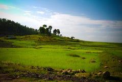Paesaggio di agricoltura con i campi del tef alla mattina in Etiopia Fotografia Stock