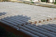 Paesaggio di agricoltura del giacimento della patata Fotografia Stock