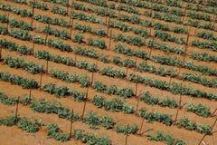 Paesaggio di agricoltura del giacimento della patata Immagini Stock Libere da Diritti