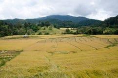 Paesaggio di agricoltura dopo la raccolta in Tailandia del Nord Fotografie Stock Libere da Diritti