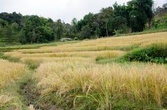 Paesaggio di agricoltura dopo la raccolta in Tailandia del Nord Immagini Stock