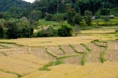 Paesaggio di agricoltura dopo la raccolta in Tailandia del Nord Immagine Stock