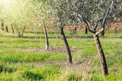 Paesaggio di alba della piantagione di olivo, raccolto Fotografie Stock
