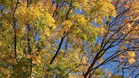 Paesaggio di autunno - acero dorato su un fondo di un cielo blu luminoso stock footage