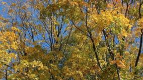 Paesaggio di autunno - acero dorato su un fondo di un cielo blu archivi video