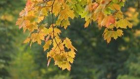 Paesaggio di autunno - acero nella pioggia stock footage