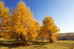 Paesaggio di autunno con gli alberi di larice gialli luminosi Fotografia Stock