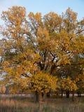 Paesaggio di autunno con la quercia antica al tramonto Fotografie Stock