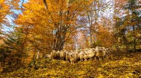 Paesaggio di autunno di ottobre nella zona di montagna a distanza nella Transilvania Immagine Stock