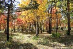 Paesaggio di autunno - foresta mista Fotografia Stock