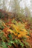 Paesaggio di autunno nella foresta con le felci Fotografie Stock