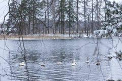 Paesaggio di calma di inverno su un fiume con cigni bianchi La Finlandia, fiume Kymijoki fotografie stock libere da diritti