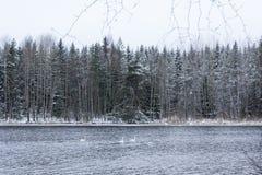 Paesaggio di calma di inverno su un fiume con cigni bianchi La Finlandia, fiume Kymijoki fotografia stock