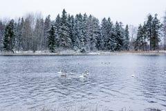 Paesaggio di calma di inverno su un fiume con cigni bianchi La Finlandia, fiume Kymijoki fotografia stock libera da diritti