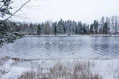 Paesaggio di calma di inverno su un fiume con cigni bianchi La Finlandia, fiume Kymijoki immagine stock
