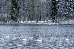 Paesaggio di calma di inverno su un fiume con cigni bianchi La Finlandia, fiume Kymijoki immagini stock libere da diritti